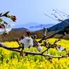 桜、菜の花、海の絶景!『加茂ゆらりんこ橋』周辺