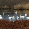 菅生沼の白鳥たち