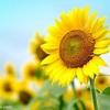 向日葵と猫と蝉