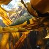 【あさイチ】とろとろ昆布に驚きの効果!がごめ昆布のフコイダン&とろろ昆布が凄い
