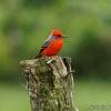 ベリーズ 鮮やかな赤色の Vermilion Flycatcher (バーミリオン フライキャッチャー)