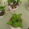 神奈川県立フラワーセンター大船植物園の「さくらそう」について