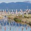 垂井町の春の風物詩『相川鯉のぼり一斉遊泳』4月11日まで。
