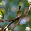 ベリーズ 種類の特定が難しい Warbler の仲間
