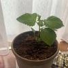 大葉の栽培