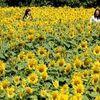 5万本のヒマワリ満開 宇城市の休耕畑