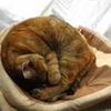 1月前半の #ねこ #cat #猫 どらやきちゃんA