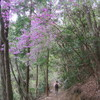 山ツツジ・醍醐の花見