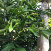 支柱、芽かき、の必要のないミニトマト苗植え付け