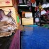 タイ猫が寝ているその奥で、店主のおばちゃんも寝ています。
