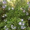 常緑・丈夫で花が長く咲く!ウエストリンギア(オーストラリアンローズマリー)の成長
