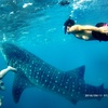 セブ島のオスロブで3500円でジンベイザメと泳ぐ方法まとめ