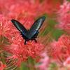 9/17/2018・彼岸花に憧れのアゲハチョウがやってくるという素敵で悔しい秋の1日でした