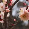 俣野別邸園で咲く梅
