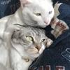 抱き合って仲良くお昼寝する白猫オッドアイとマンチカン。