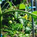 アリスの野菜畑奮闘記