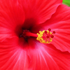ハイビスカス 花は夏本番?