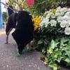 新宿を愛犬のよんくろと散歩♪♪