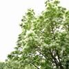 ナンジャモンジャが咲いている、春になったって実感です。今日はフラフラしながら帰りました。