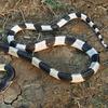 新型コロナウイルスの原因は蛇を食用したのが原因だった!?へびゃー!!