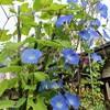 「佐久の季節便り」、「アメリカ朝顔」は、一日中、萎まずに咲いて…。