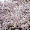 新宿御苑の桜も見頃の今日このごろ