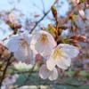 今年の花見 昔の花見