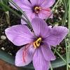 サフランの開花、まだ開花している夏の花たち、よい香りの洋蘭