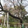 江波山の桜と記念碑