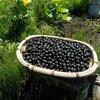 アロニア収穫