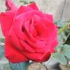 2012/11/08 今日の秋バラたち