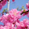 山桃と木瓜の花がきれいで春を実感