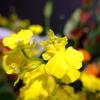 【花を飾る】#13 黄色のオンシジューム