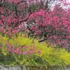 【行ってみた】長野県阿智村 月川温泉郷の花桃の見どころ、駐車場、渋滞情報なども