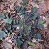 冬のロゼット植物観察