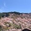 吉野山の桜情報 ~YOSHINO 2020~ 千本桜