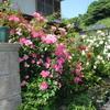 つるバラたち 2013/05/25