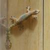 オガサワラヤモリ Lepidodactylus lugubris
