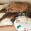 猫も暑いと大変です ~溶けたノルウェージャンフォレストキャットとソマリ~