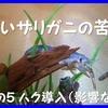 青いザリガニの苦難(5)