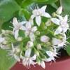 クラッスラ 桜花月の花