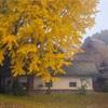 京都・南丹 - ある古民家の大イチョウ