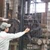 27頭のチンパンジーがゴリラの家族数頭を襲撃
