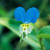 今日の誕生花「ツユクサ」友禅染の下絵の染料、梅雨入り!