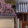 京都・西陣 - 門前に垂れるだらりの帯 地福寺の枝垂れ梅