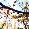 マンサク、日向水木