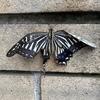 アゲハチョウの一生を観察する