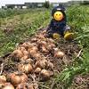 1歳児と収穫体験へ!新玉ねぎたくさんとったどー!!