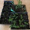 キュウリ、青ジソ、トウモロコシの苗を植え替えました