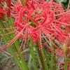 マンジュシャゲ まだ蕾ですが Red spider lily